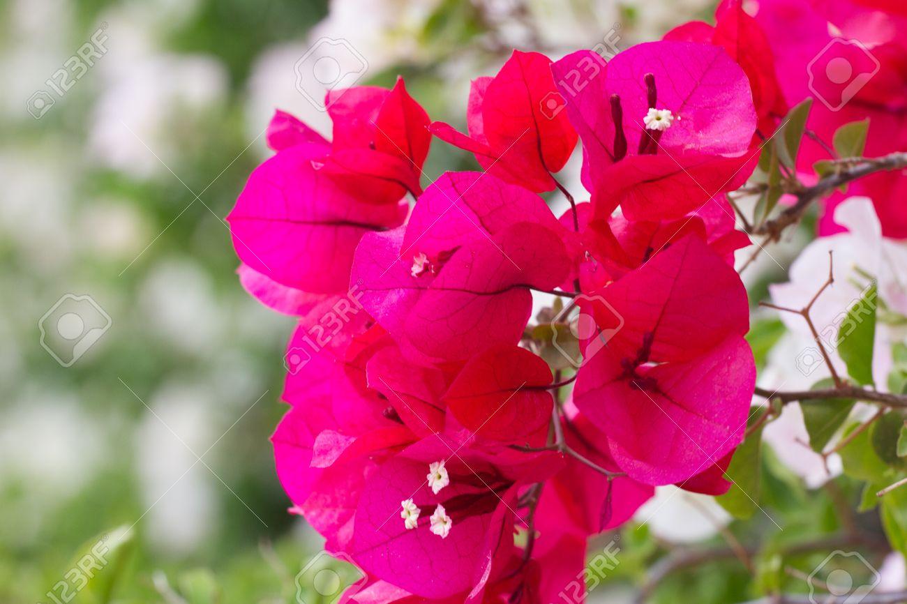 Bright colors bougainvillea paper flowers violet colorful bush bright colors bougainvillea paper flowers violet colorful bush stock photo 63953191 mightylinksfo