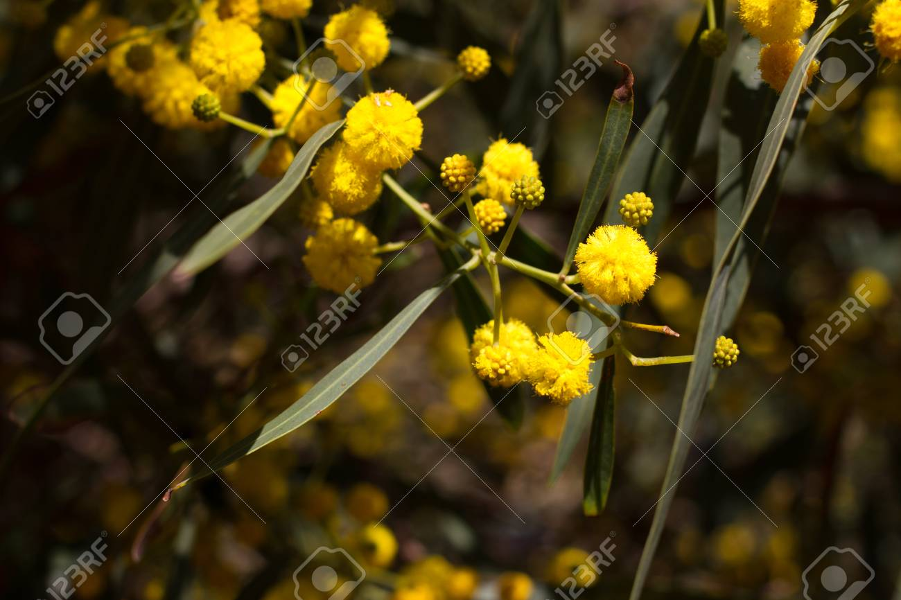 Yellow ball of mimosa flowers woman s day eight of march stock stock photo yellow ball of mimosa flowers woman s day eight of march mightylinksfo
