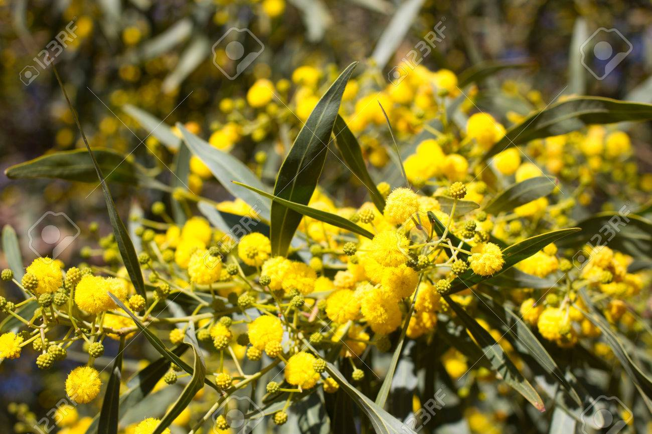 Yellow ball of mimosa flowers woman s day 8 march stock photo stock photo yellow ball of mimosa flowers woman s day 8 march mightylinksfo
