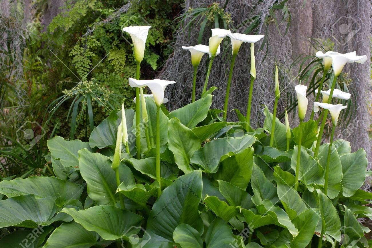 Geliebte Gruppe Calla Blüht Im Garten. Weiße Lilie. Lizenzfreie Fotos #UI_99