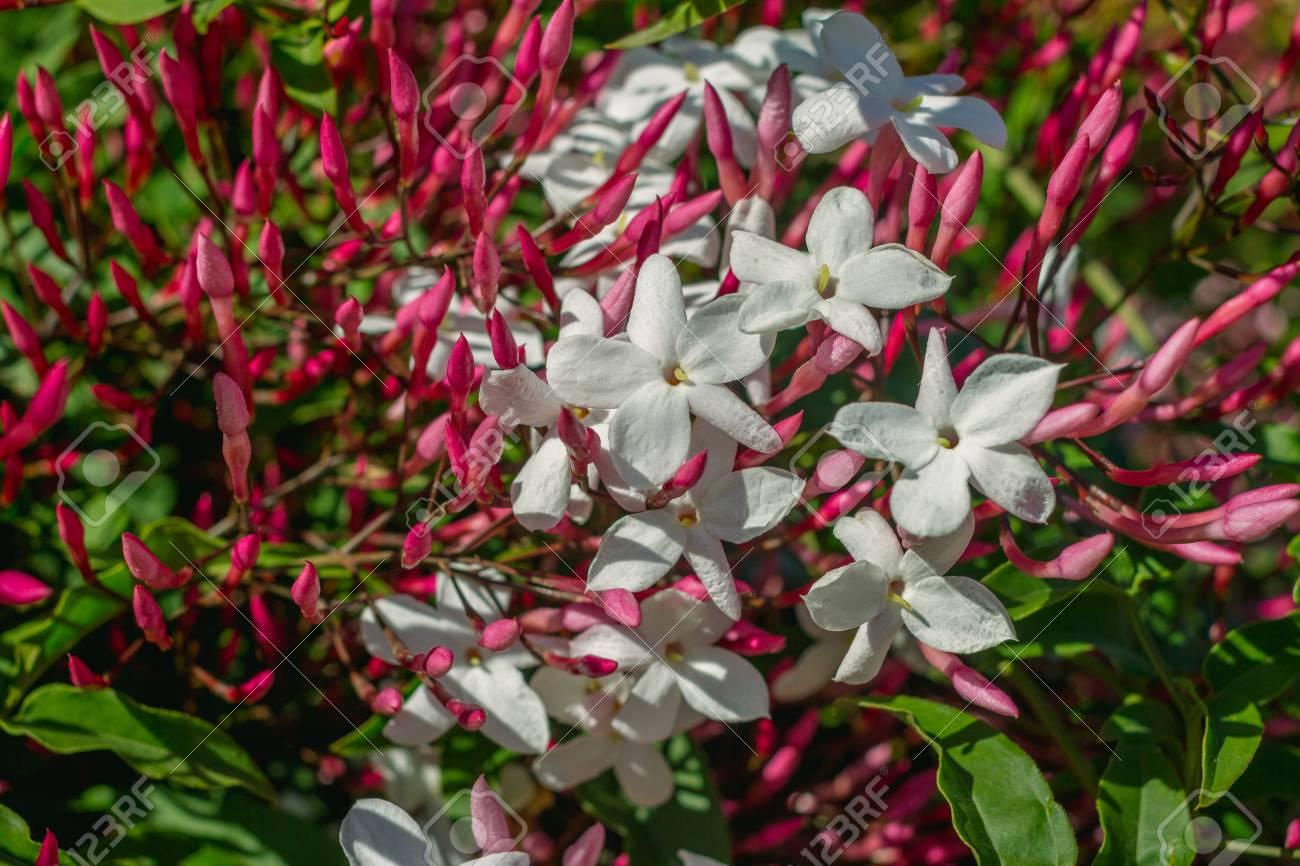 Closeup Horizontal Photo Of Star Jasmine Flowers Jasminum