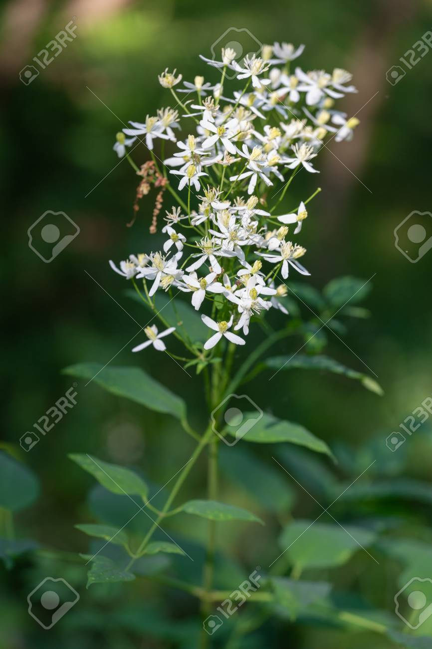 Wild Forest Flowers Of Erect Clematis White Flowers Latin Name