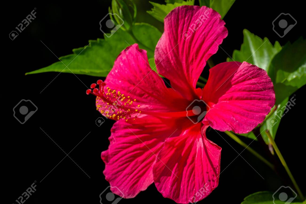 Tropical Red Hibiscus Flower On Black Background Stock Photo Picture And Royalty Free Image Image 103687844