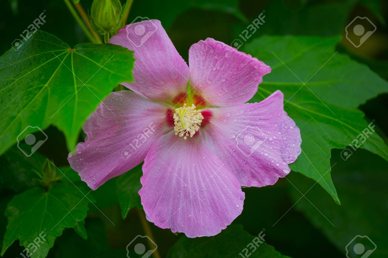 This Beautiful Flower Called As Hibiscus Moscheutos Rose Mallow
