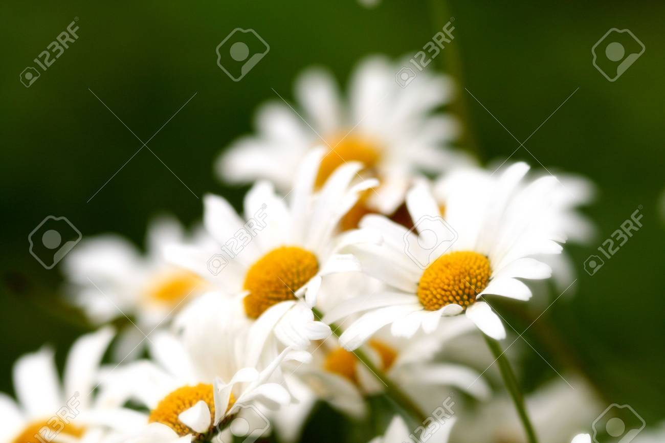 Very beautiful flowers of a camomile of a lily a card stock photo stock photo very beautiful flowers of a camomile of a lily a card izmirmasajfo