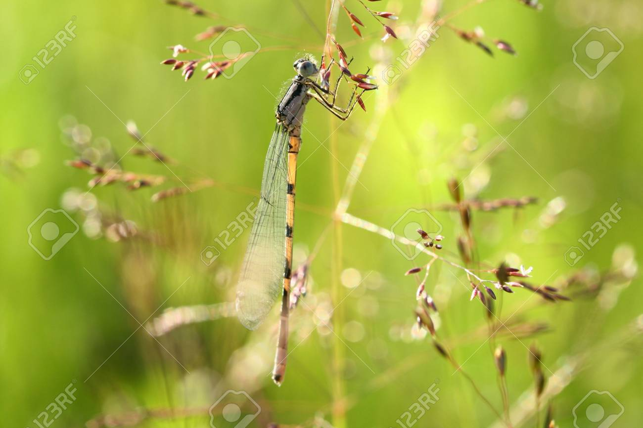 The beautiful dragonfly sits in a grass and dries wings Stock Photo - 2094644