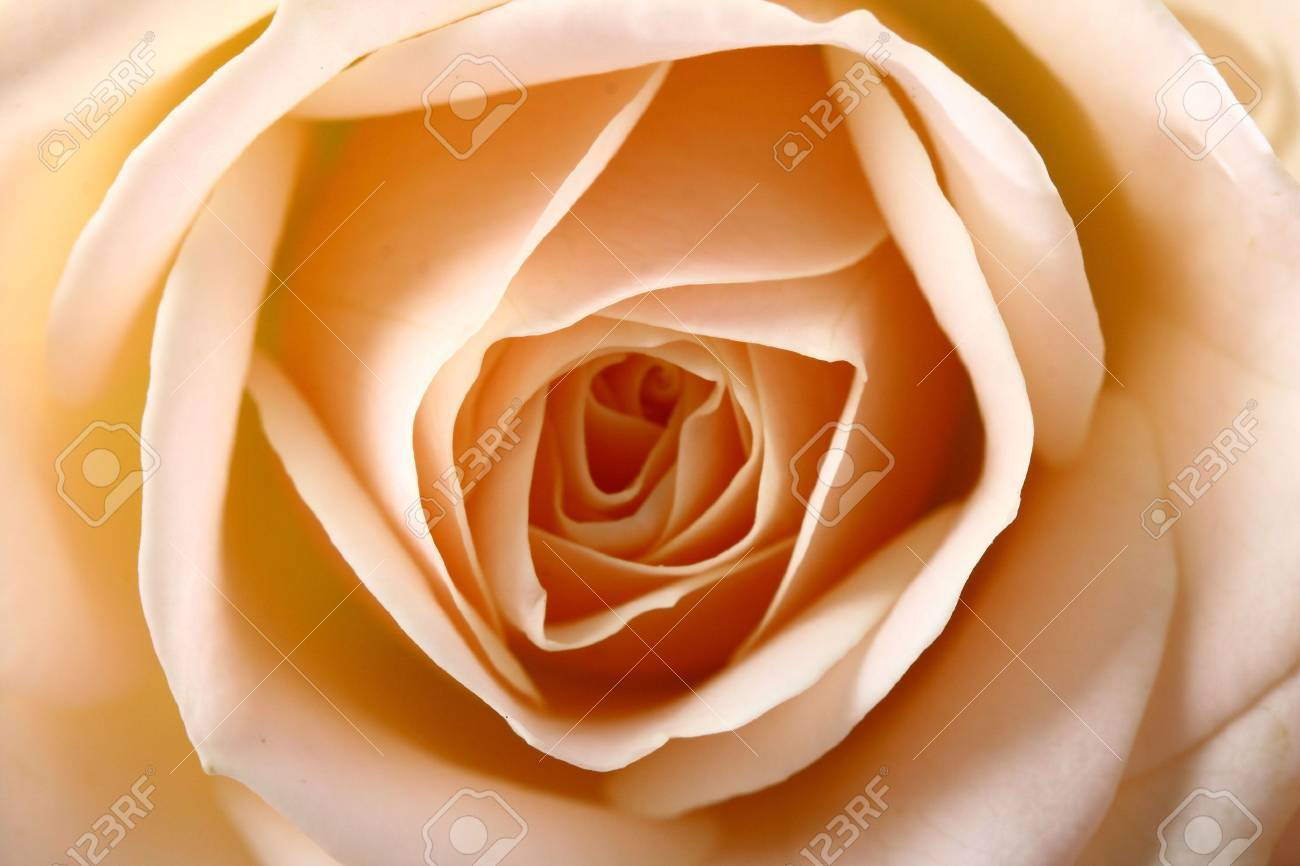 Very beautiful flowers gentle well smells card rose macro stock stock photo very beautiful flowers gentle well smells card rose macro izmirmasajfo