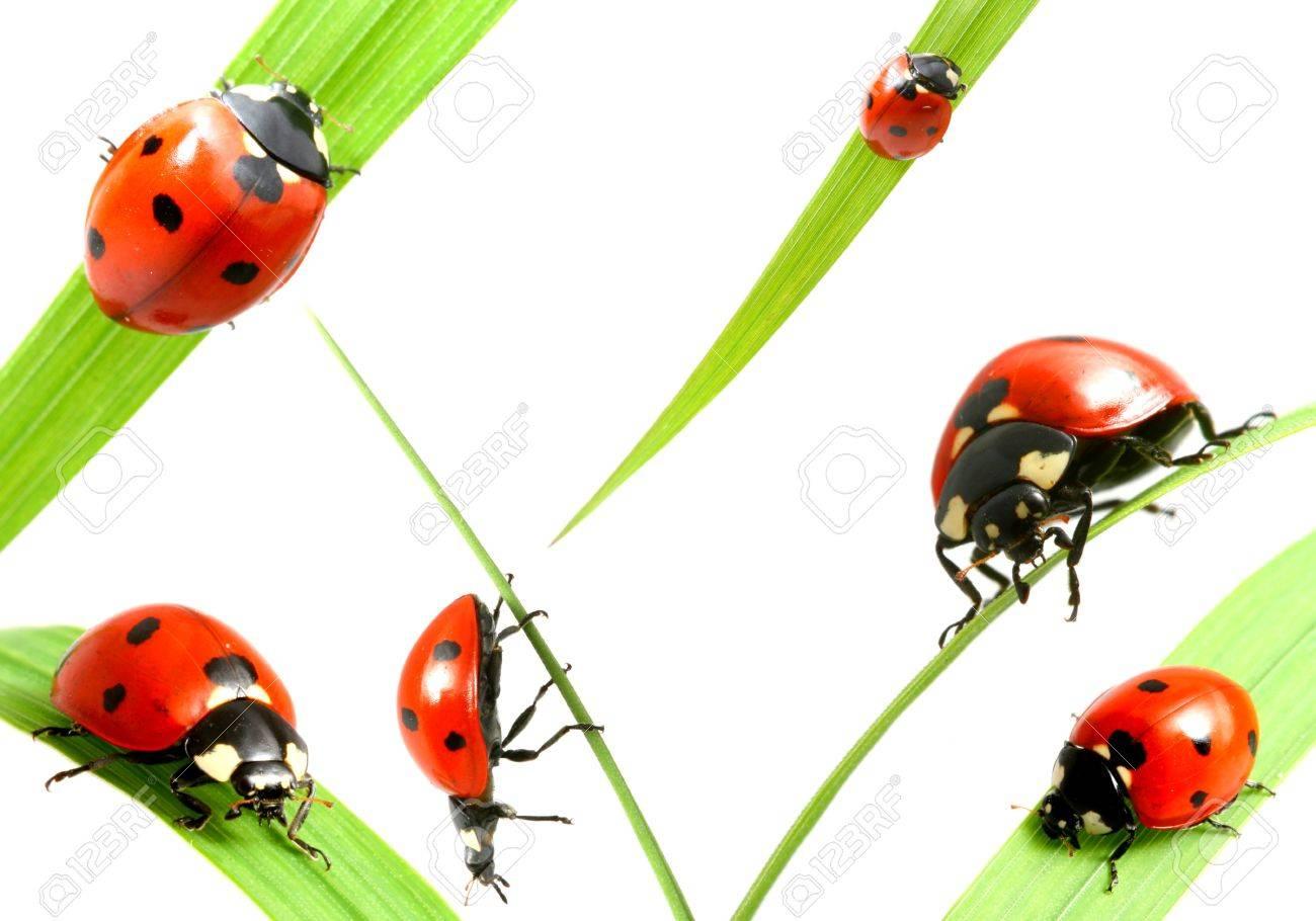 ladybug big family collect isolated on white Stock Photo - 3295839
