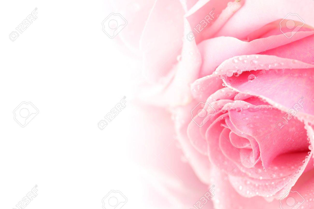 Pink Rose Macro Stock Images - Image: 586204