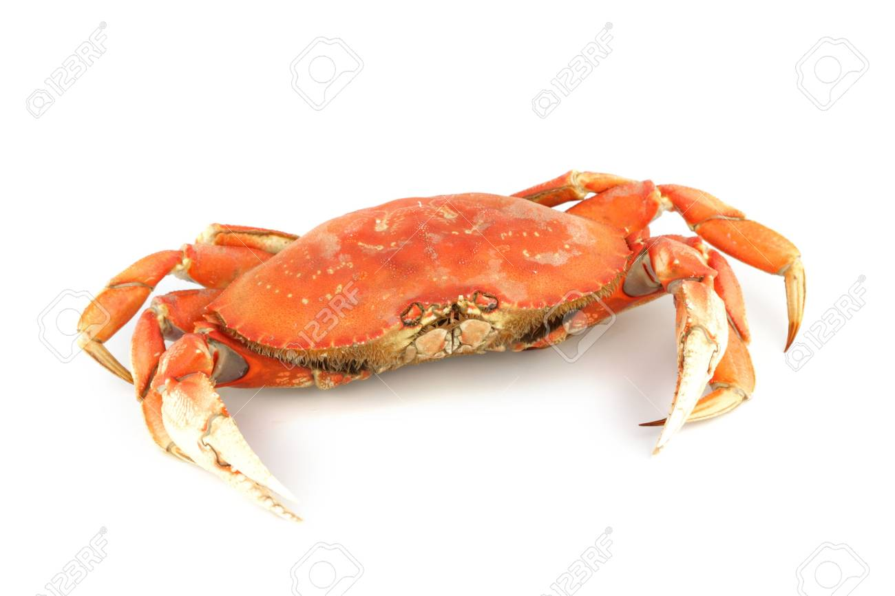 dungeness crab isolated on white Stock Photo - 4689231