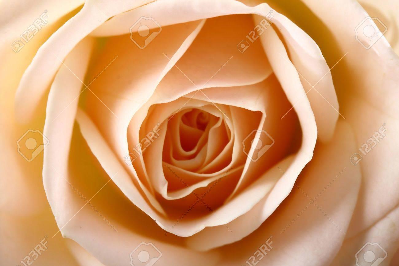 Very Beautiful Flowers Gentle Well Smells Card Rose Macro Stock