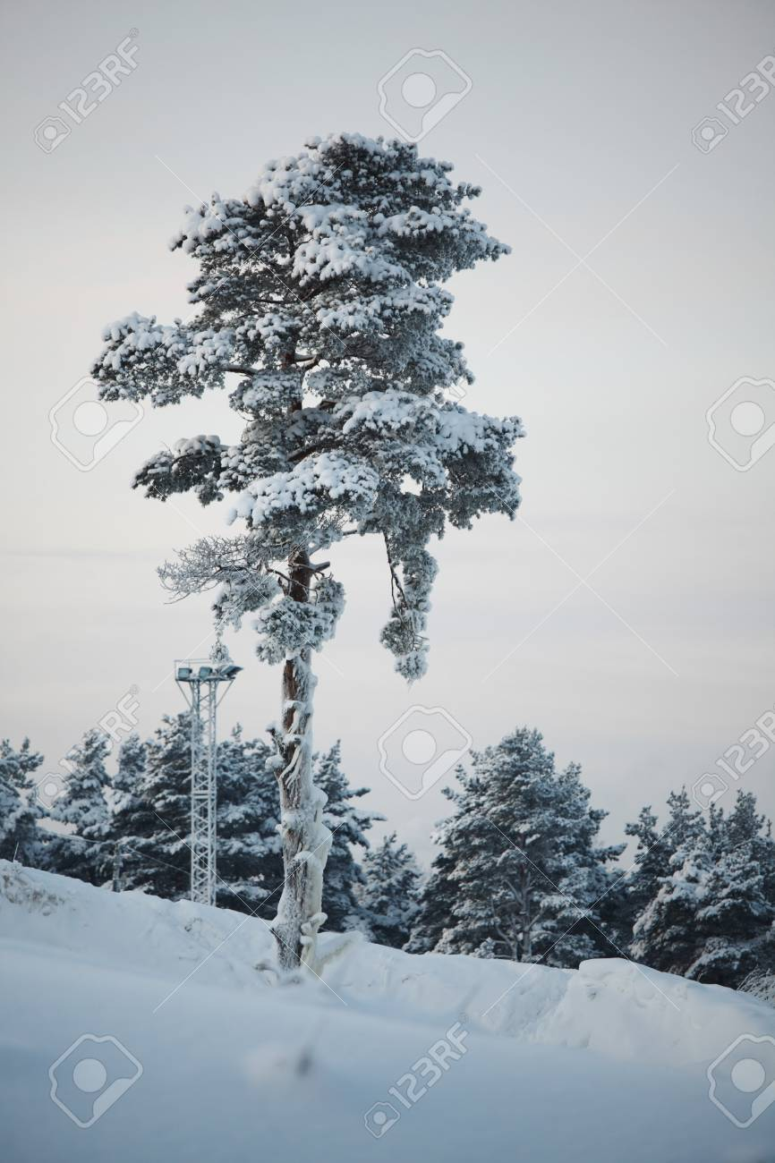 pine forest in snow Stock Photo - 8678328
