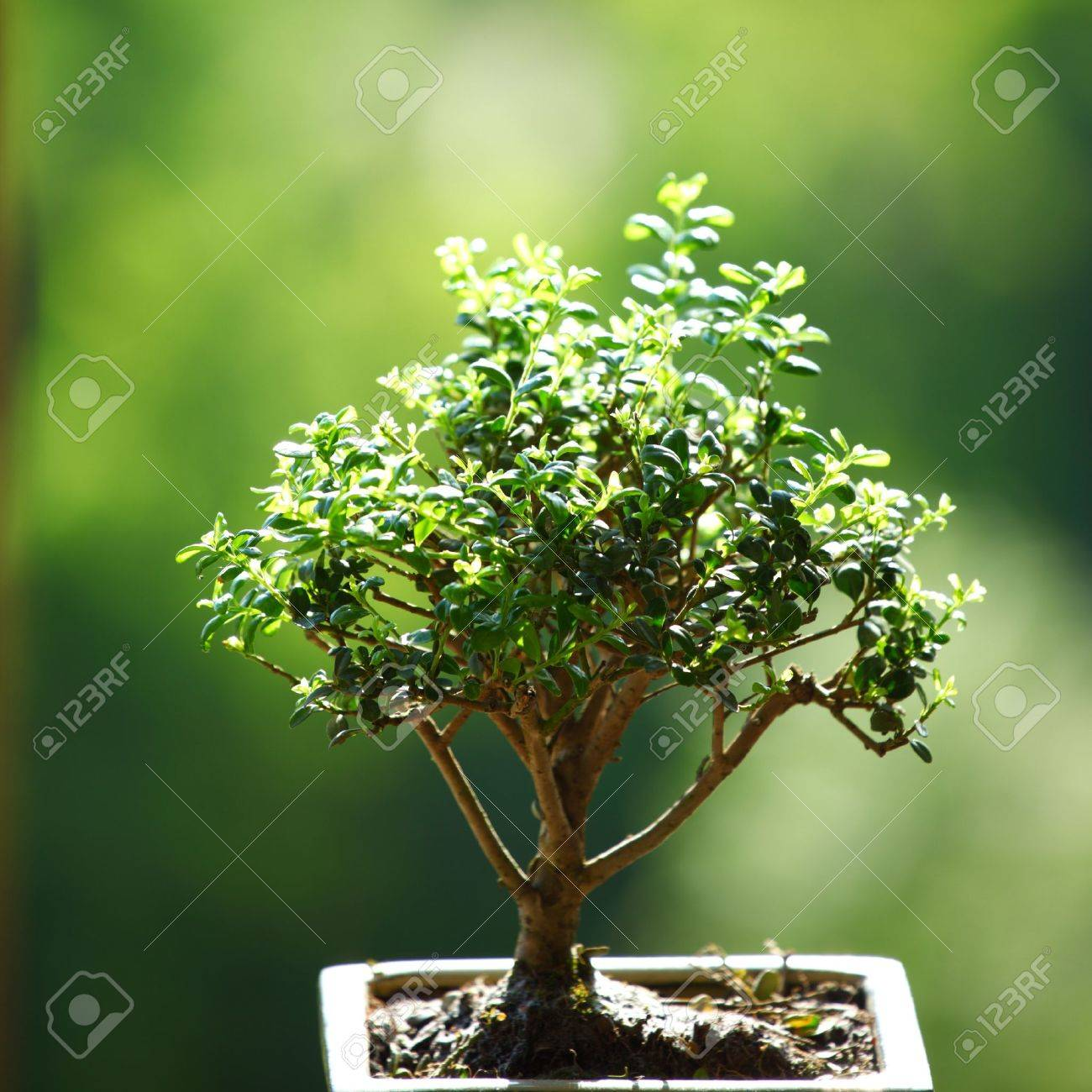 Bonsai On Green Grass Background Stock Photo Picture And Royalty Free Image Image 8744060