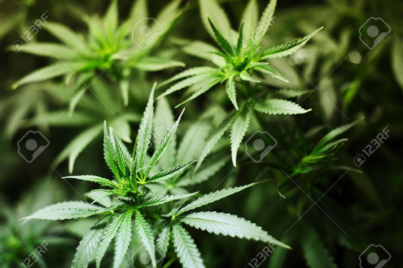 cannabis background macro close up Stock Photo - 8744131