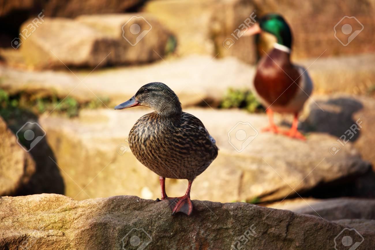 duck in zoo macro close up Stock Photo - 8746136