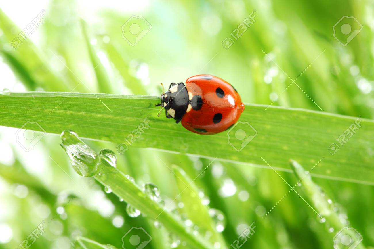 ladybug on grass in water drops Stock Photo - 8811290
