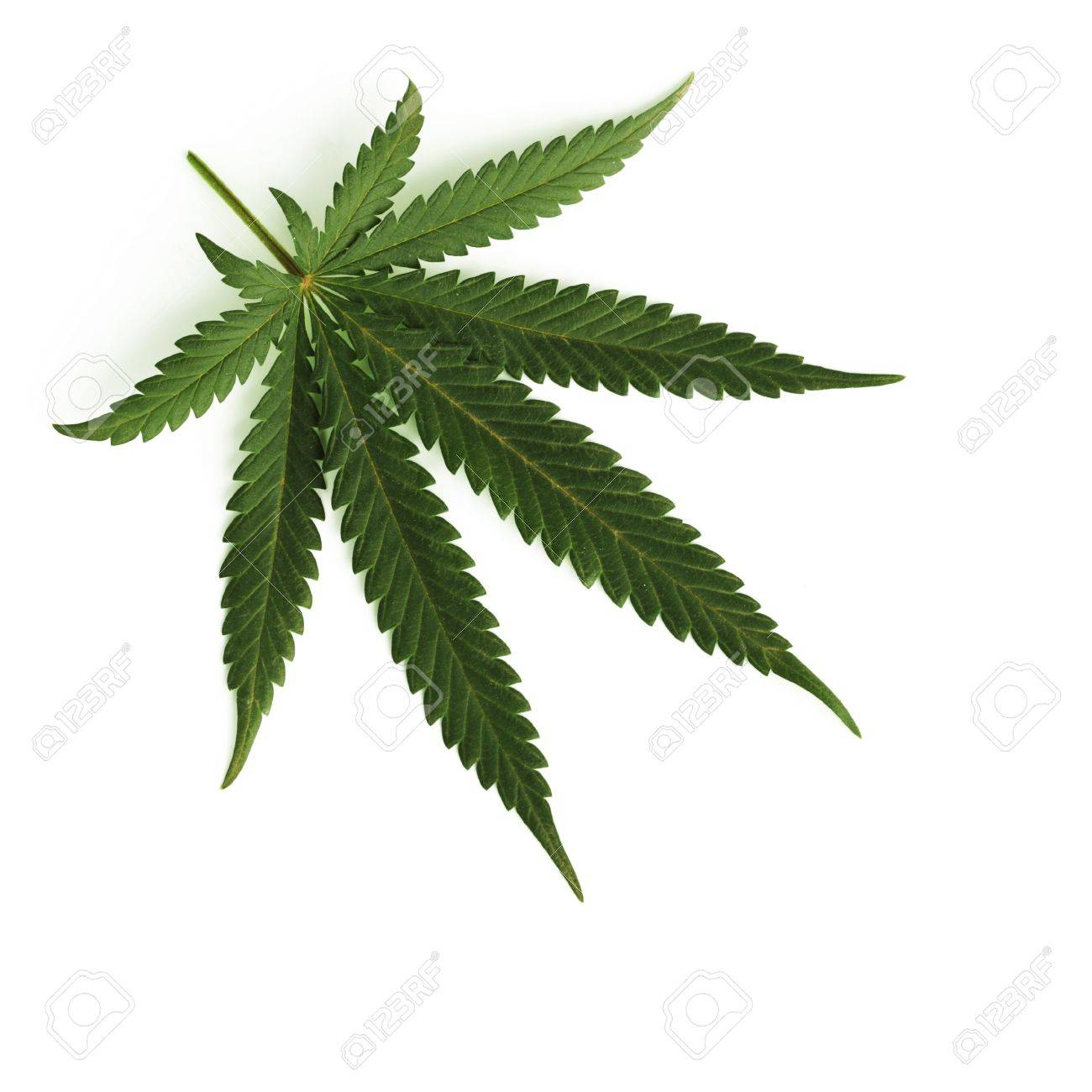 cannabis leaf isolated on white background Stock Photo - 9006059