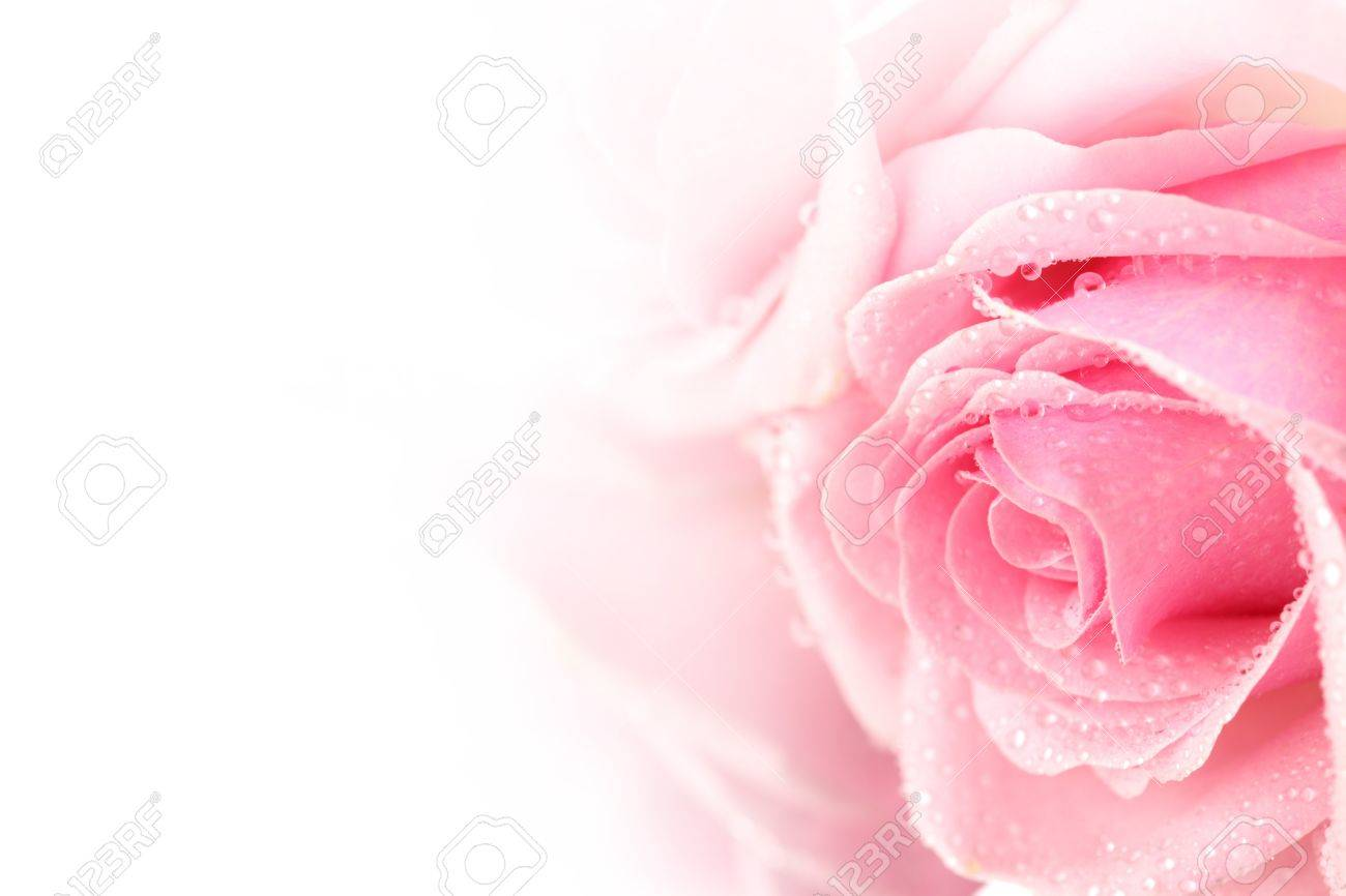 Pink Rose Macro Wallpaper 11070 1920x1200 - uMad.com
