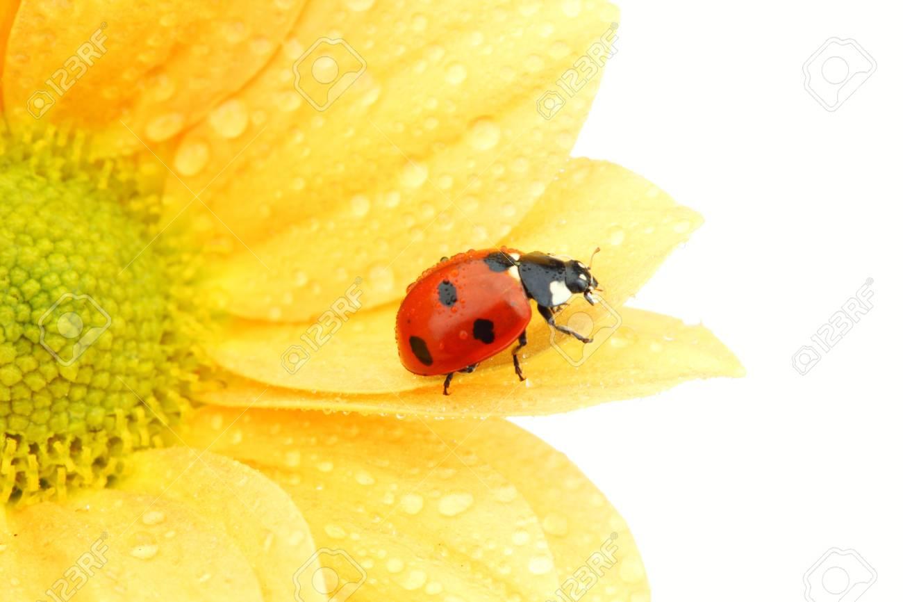 Marienkäfer Auf Gelbe Blume Isoliert Weißem Hintergrund Lizenzfreie