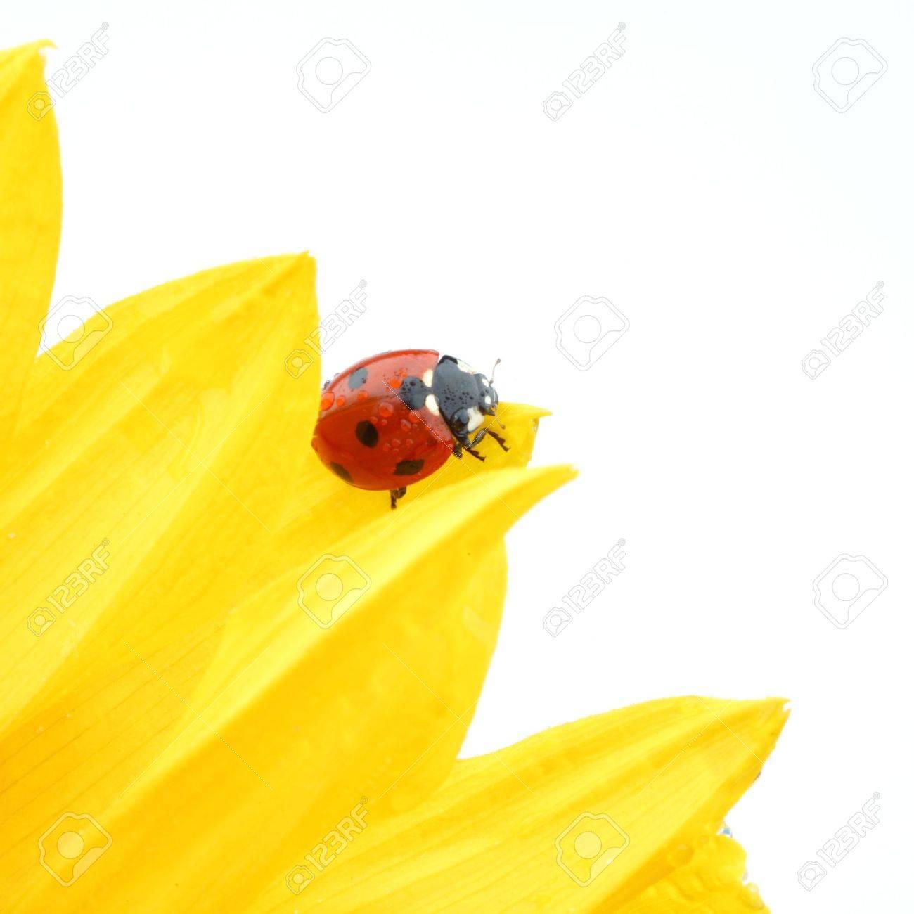 ladybug on sunflower isolated white background Stock Photo - 10164282