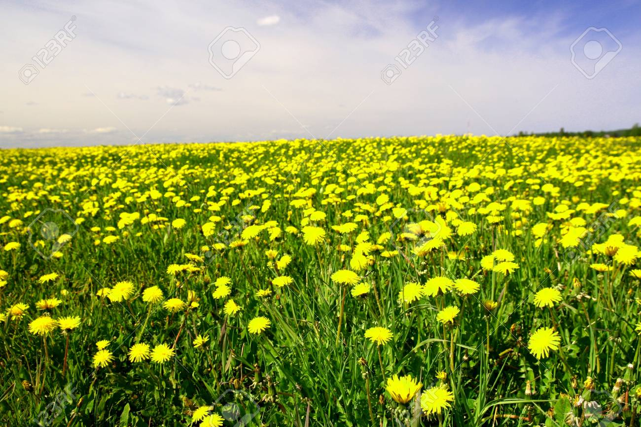 dandelion landscape under blue sky Stock Photo - 10361953