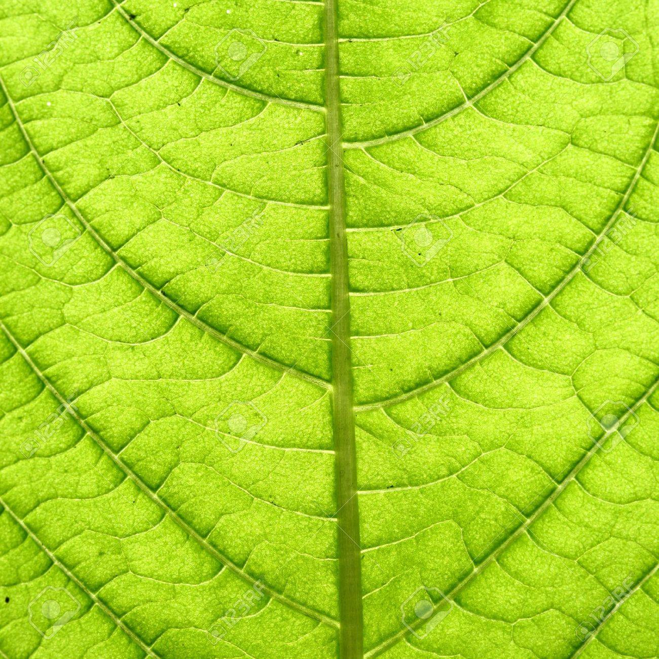 green leaf vein macro close up Stock Photo - 10534889