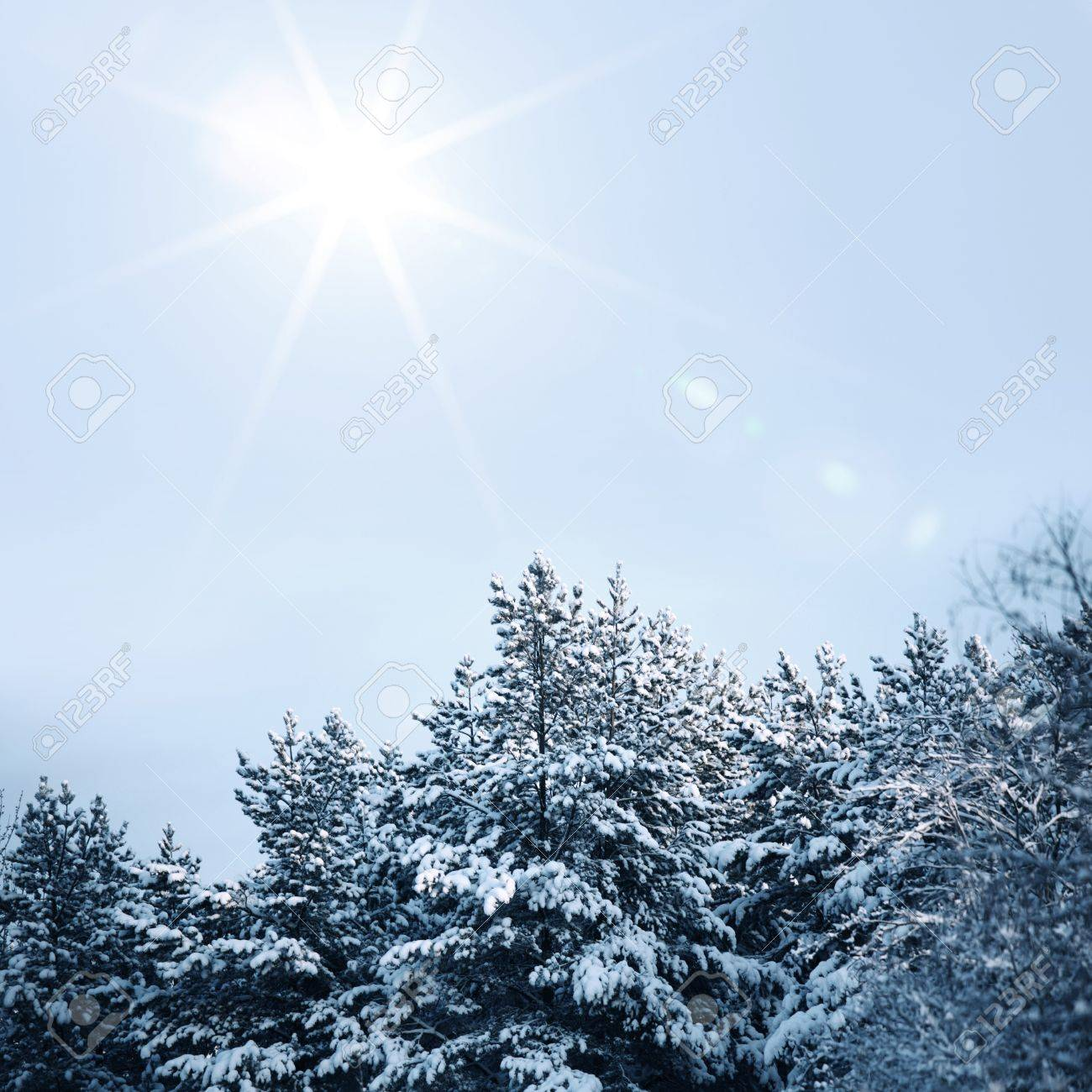 pine forest in snow Stock Photo - 10534851