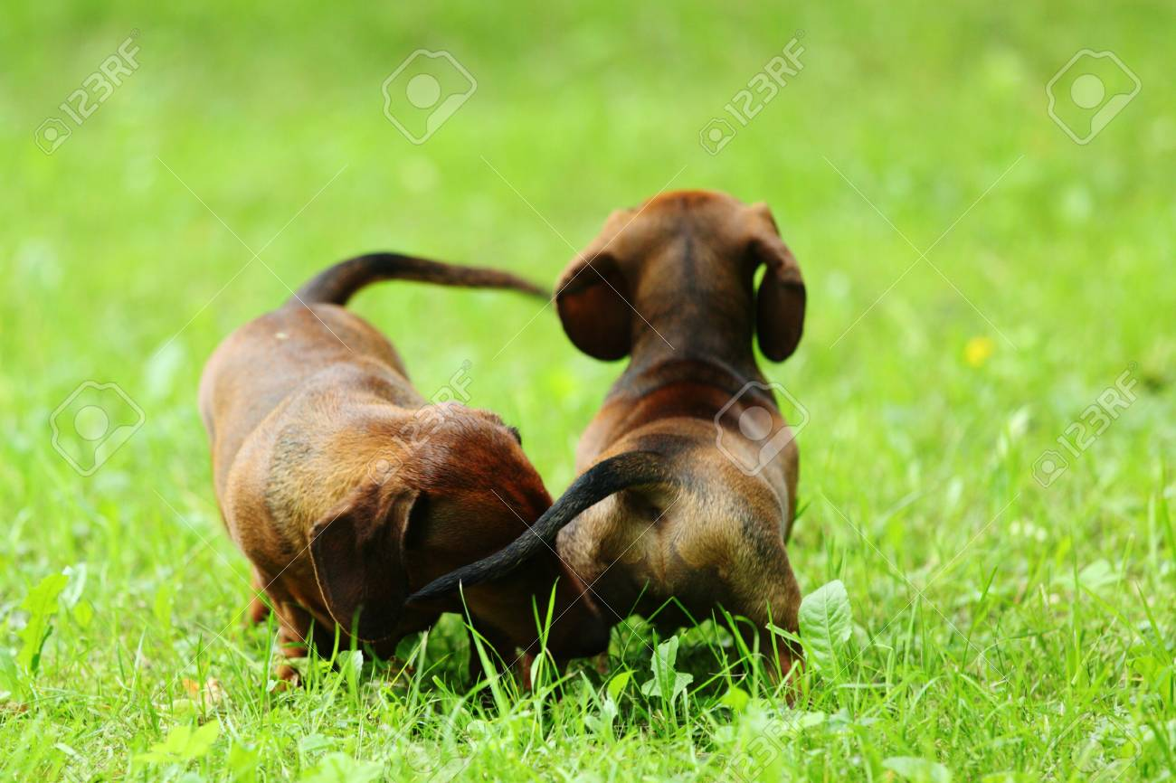 dachshund on green grass close up Stock Photo - 10940556