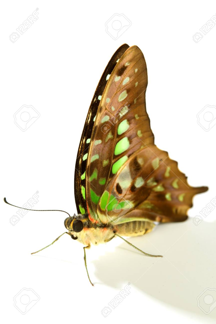 Graphium isolated on white background Stock Photo - 11340200