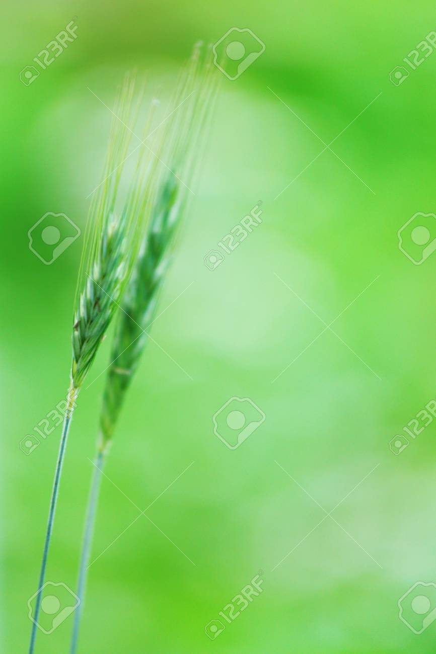 spikelets of oats macro close up Stock Photo - 12040506
