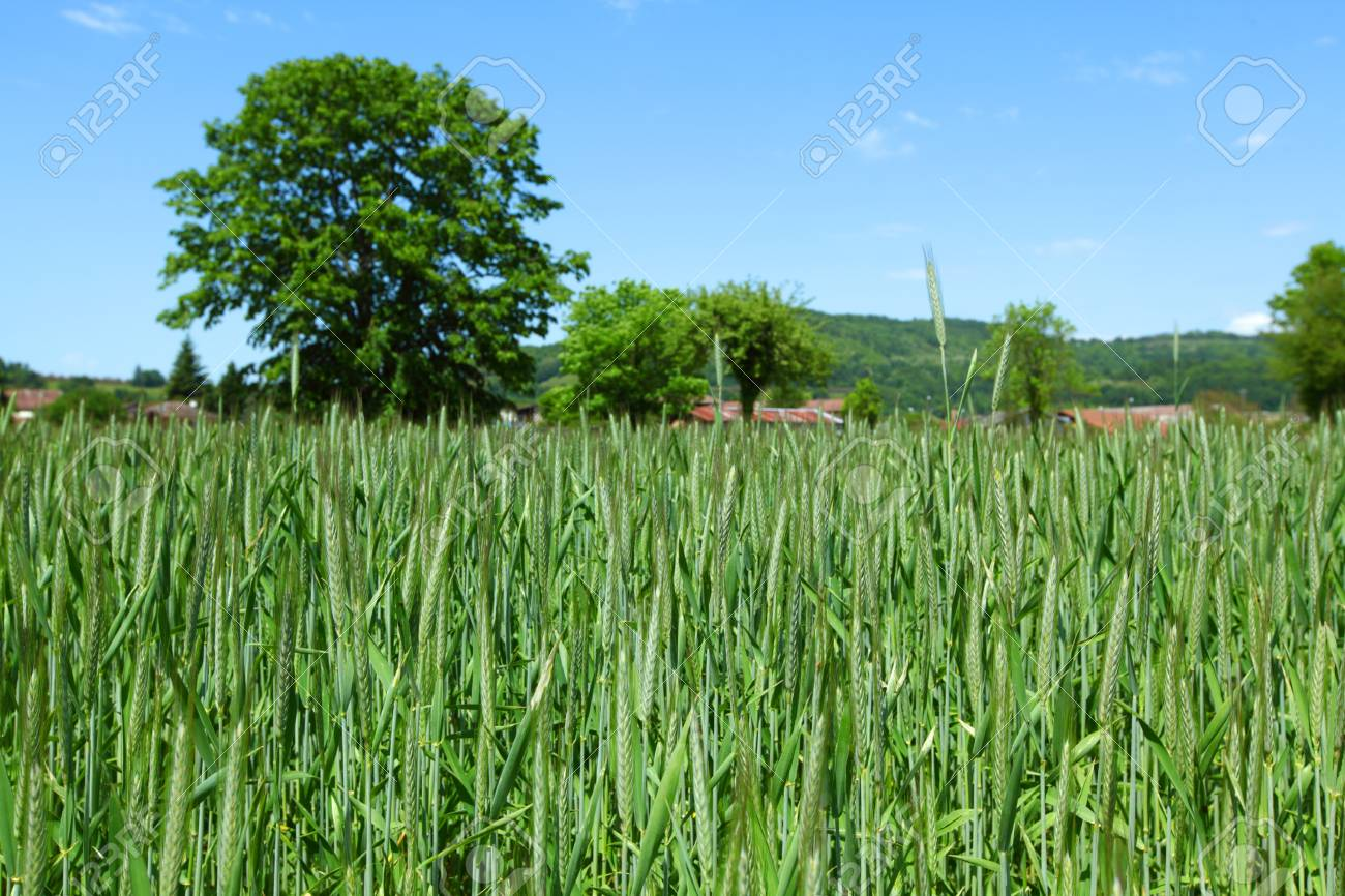 Early spring wheat field Stock Photo - 14685082
