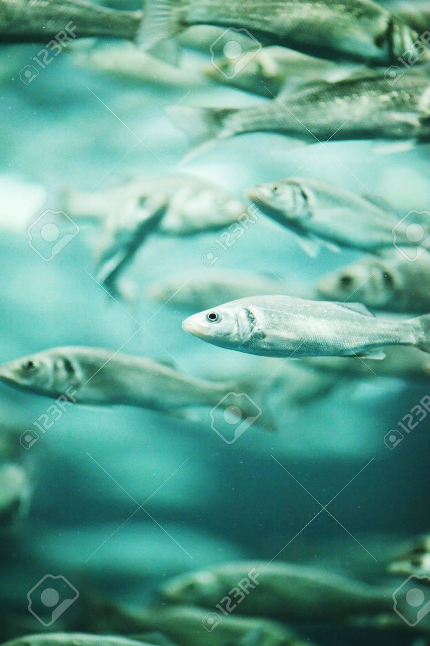 Many mackerel fish, underwater view Stock Photo - 21356805