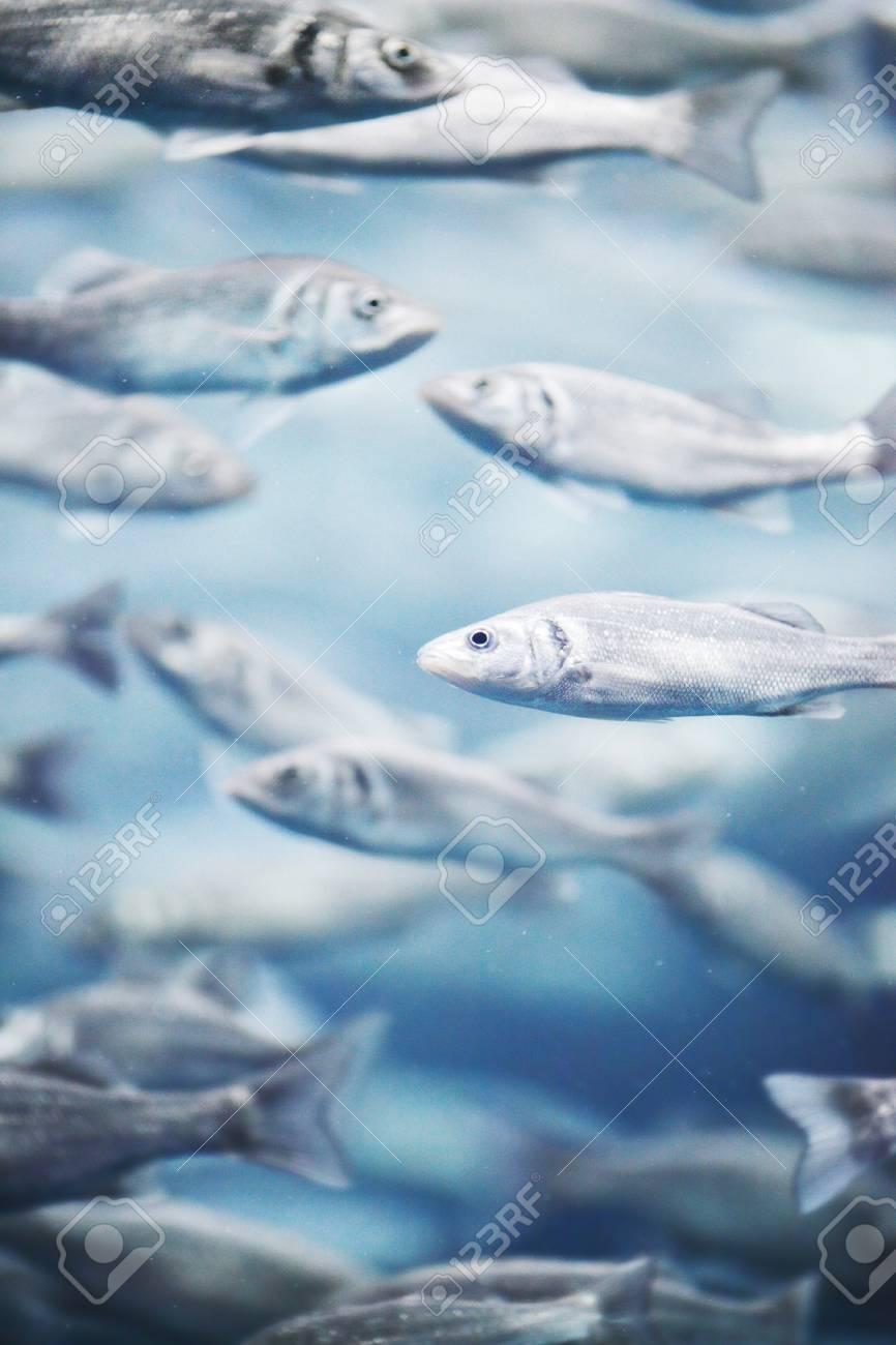 Many mackerel fish, underwater view Stock Photo - 22374131