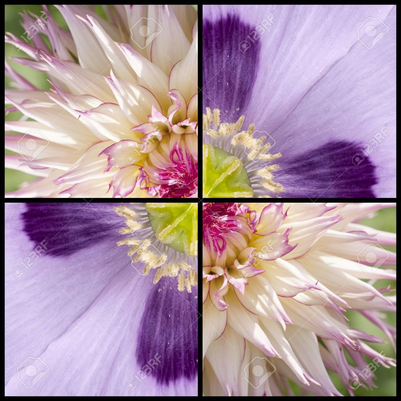 Collage De La Amapola Púrpura Rosa Y Lila, Mientras Que La Dalia En ...