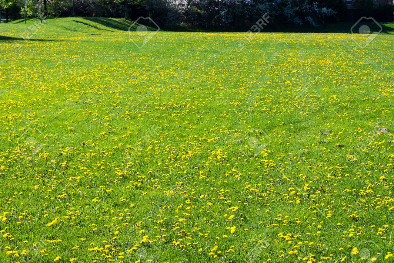 tall green grass field. A Soothing, Luscious Open Field Of Bright, Green Grass Filled With Beautiful Yellow Wildflowers Tall G