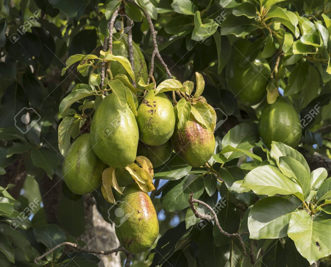 fruits frais d'avocat qui pousse sur un arbre. avocat jamaïcain ou