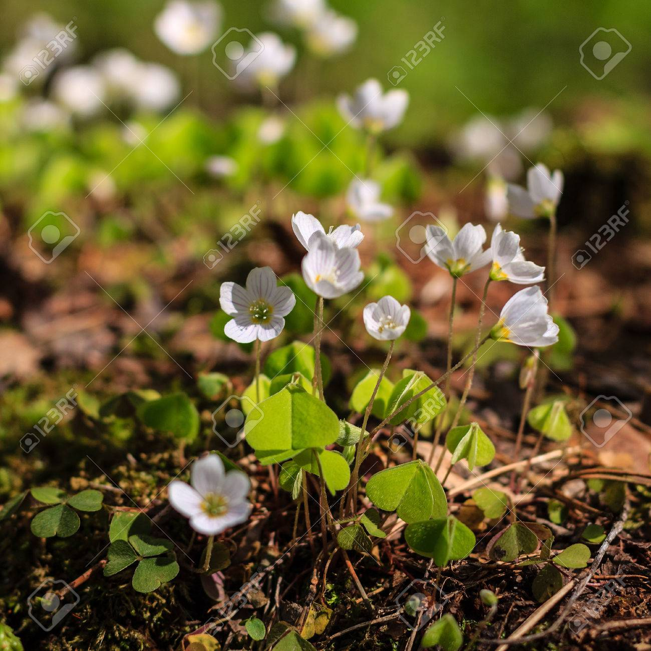First white spring flowers in the forest at may stock photo picture first white spring flowers in the forest at may stock photo 56342459 mightylinksfo Choice Image
