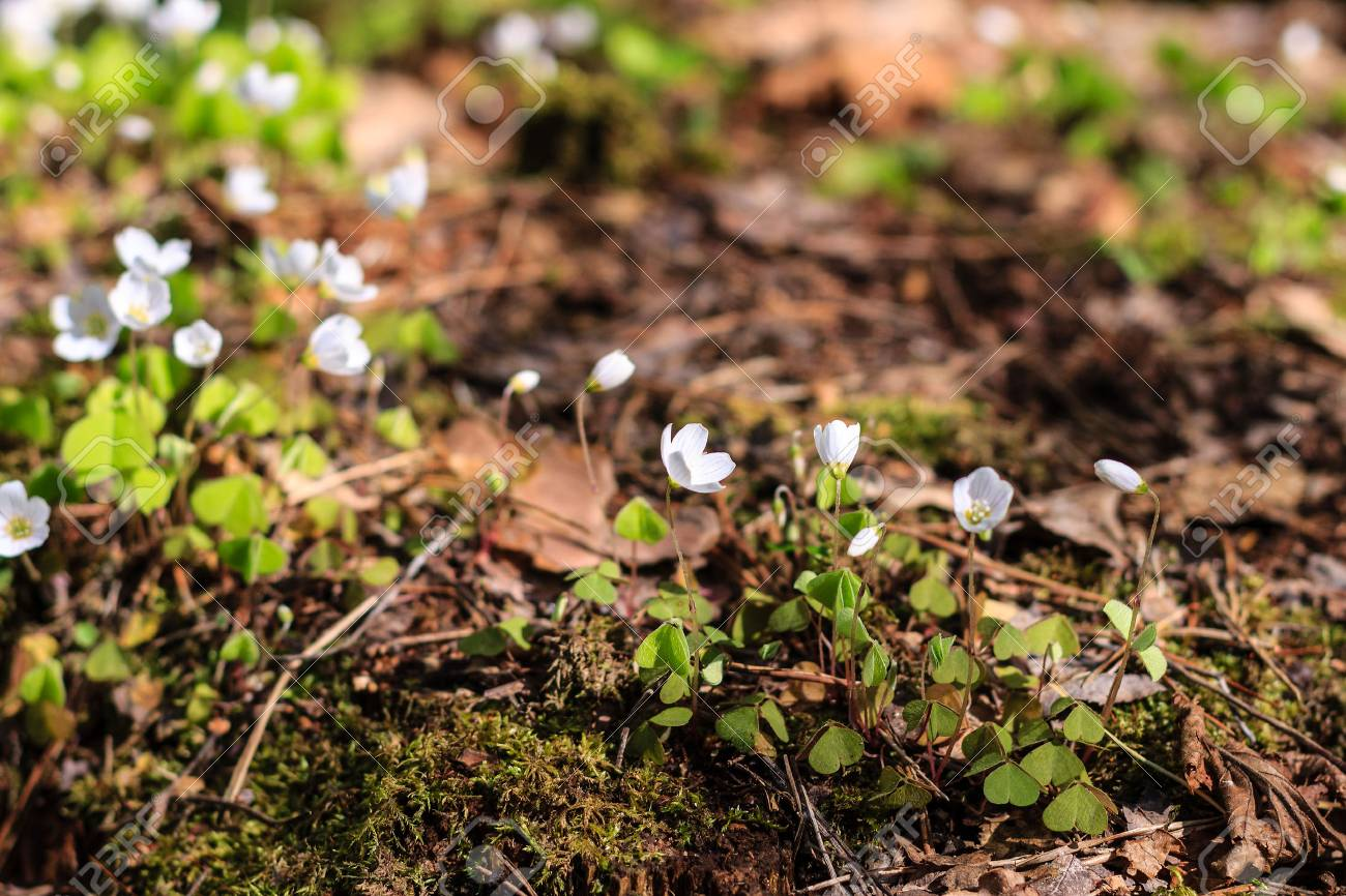 First white spring flowers in the forest at may stock photo picture first white spring flowers in the forest at may stock photo 56344342 mightylinksfo