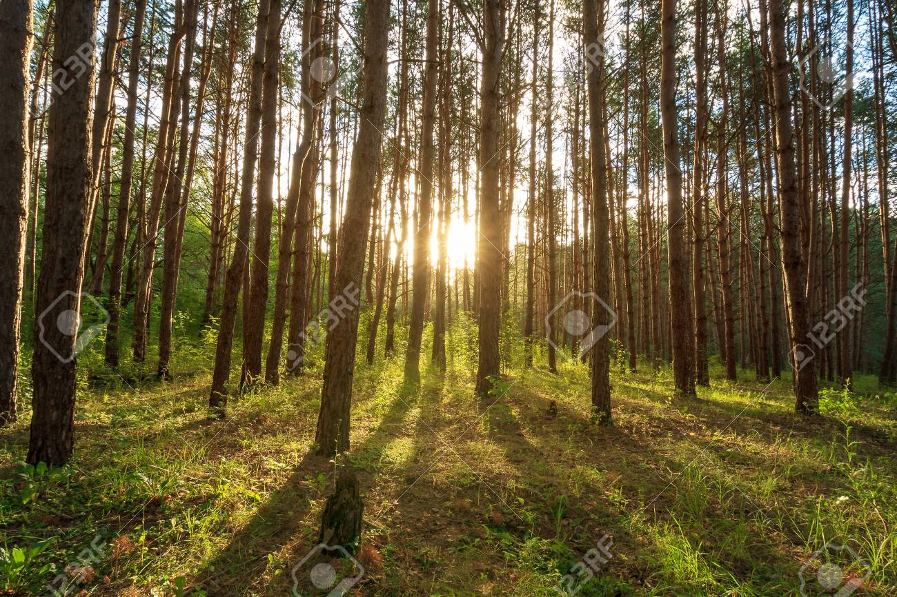scene of beautiful sunset at summer pine forest with trees and grass, landscape - 120525686