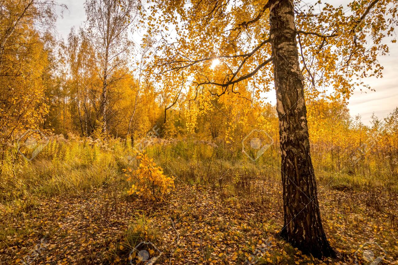 Yellow leaf fall in the birch forest in golden autumn on sunset. Landscape with trees on a sunny day and footpath. - 131496222