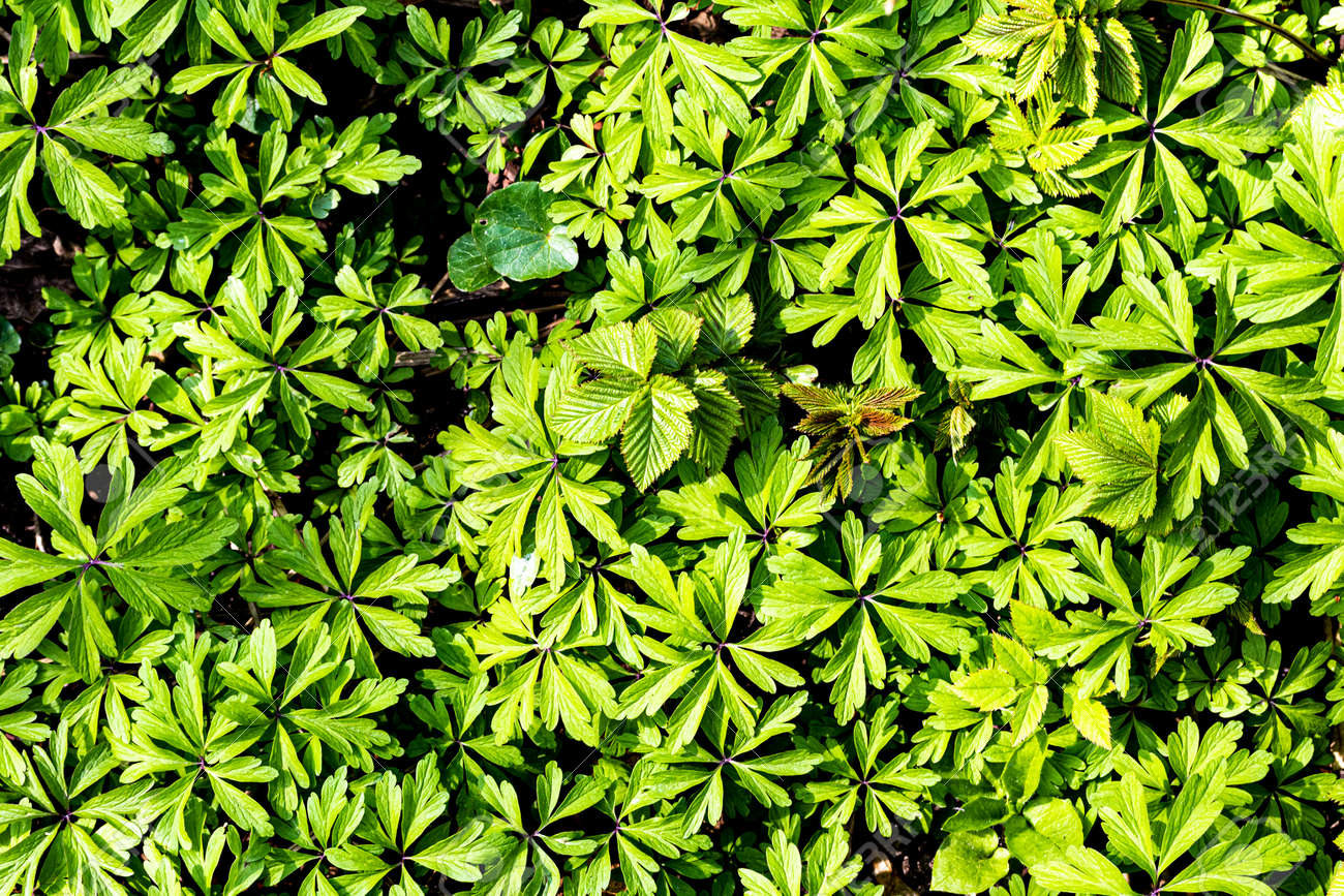 Texture of young green plant sprouts. Early spring. Abstract backdrop for design. - 144774320