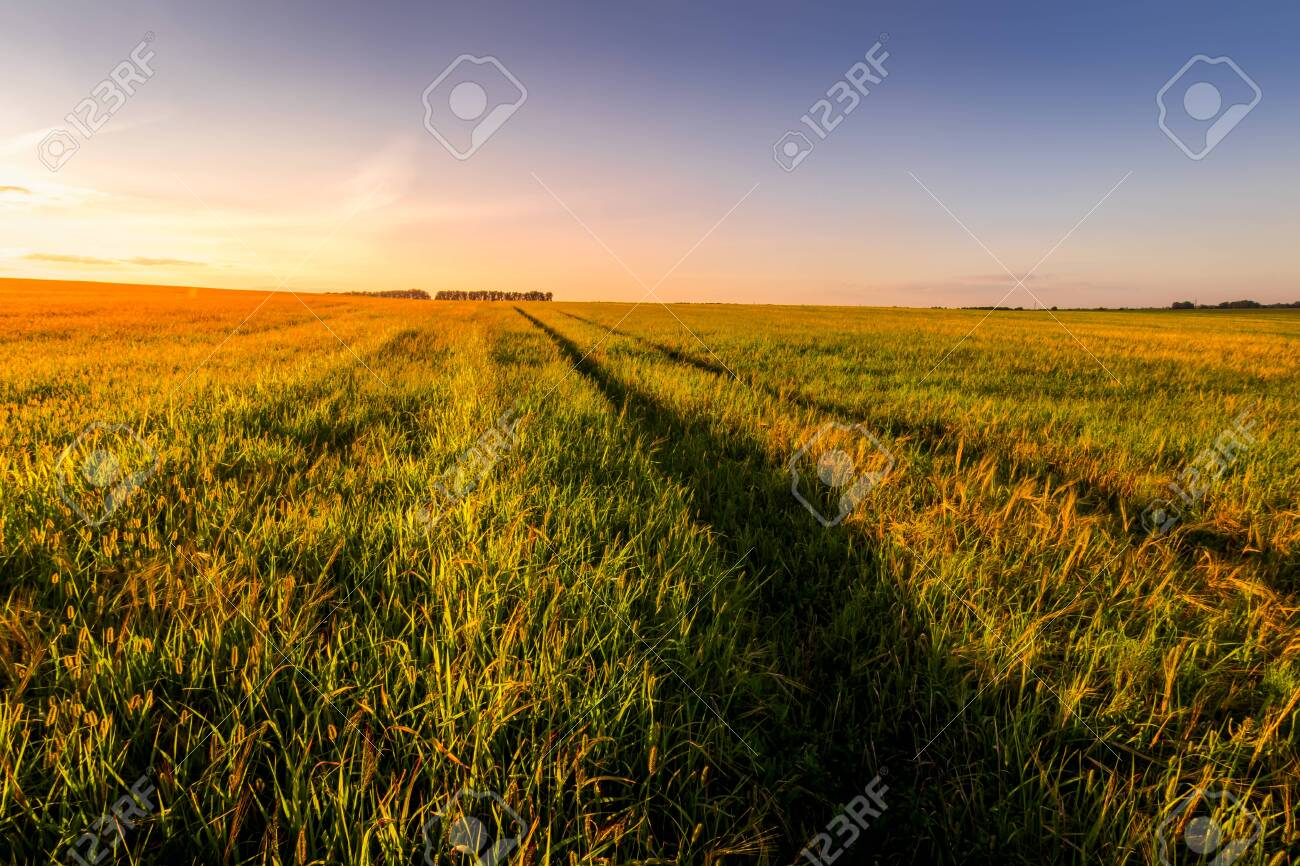 Sunset or sunrise in an agricultural field with ears of young green wheat and a path through it on a sunny day. The rays of the sun pushing through the clouds. Landscape. - 153334511