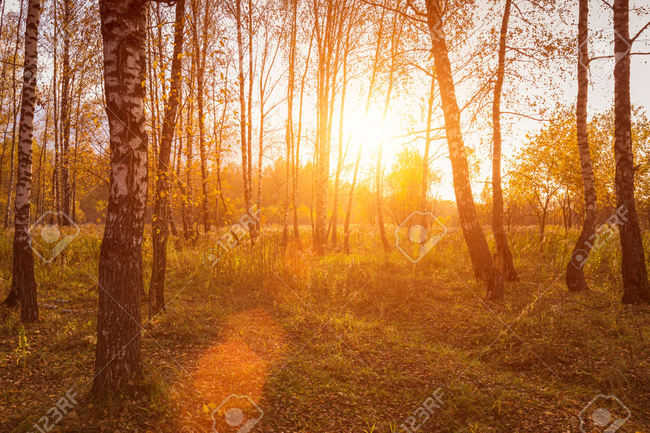 Sunset in an autumn birch grove with golden leaves and sunrays cutting through the trees on a sunny evening during the fall. - 157651758