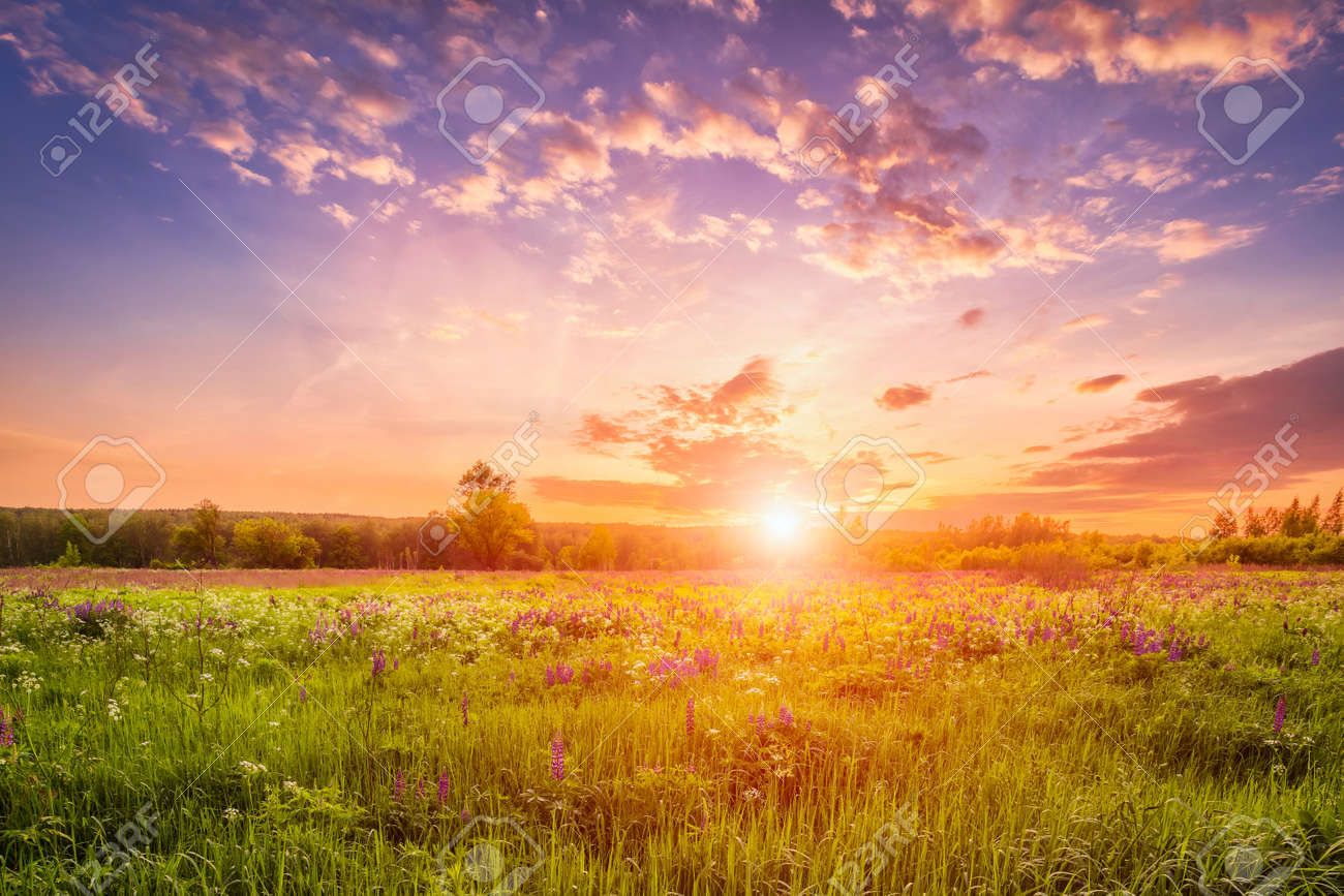 Sunset or sunrise on a field covered with flowering lupines in spring or early summer season with fog and cloudy sky. - 166004483