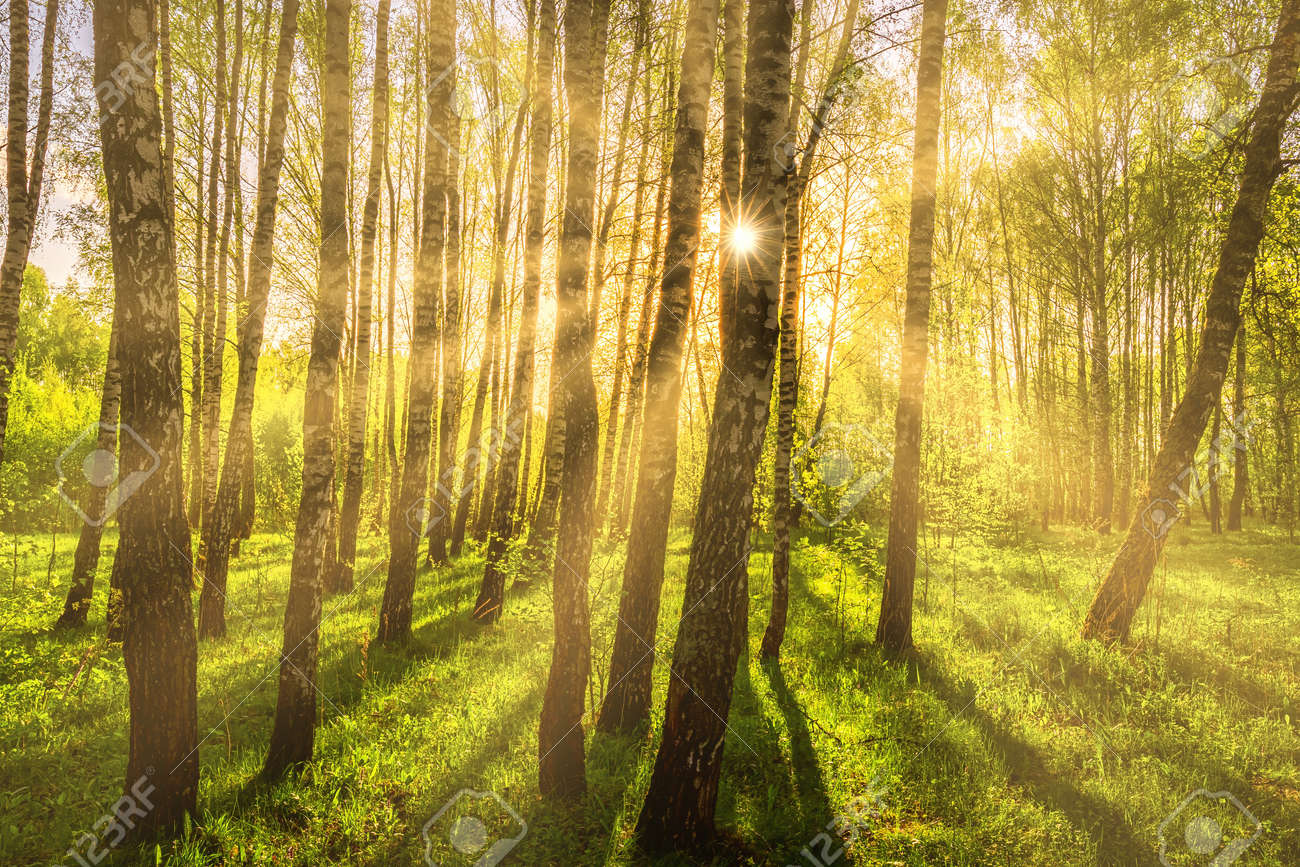 Sun rays cutting through birch trunks in a grove at sunset or sunrise in spring. - 169566126
