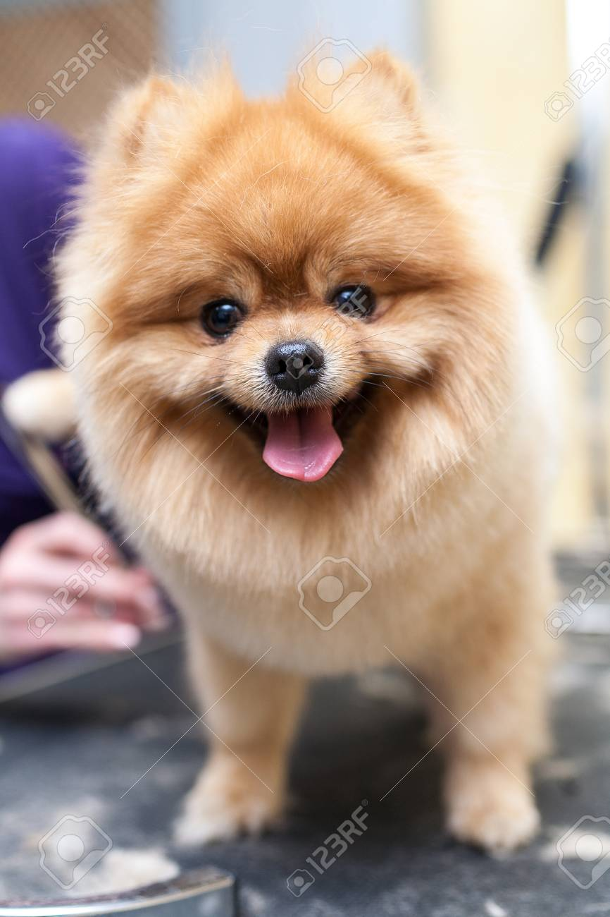 Grooming Pomeranian Dog By Professional Groomer Hairdresser