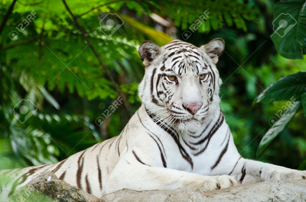 White Bengal tiger resting on a rock - 13544411
