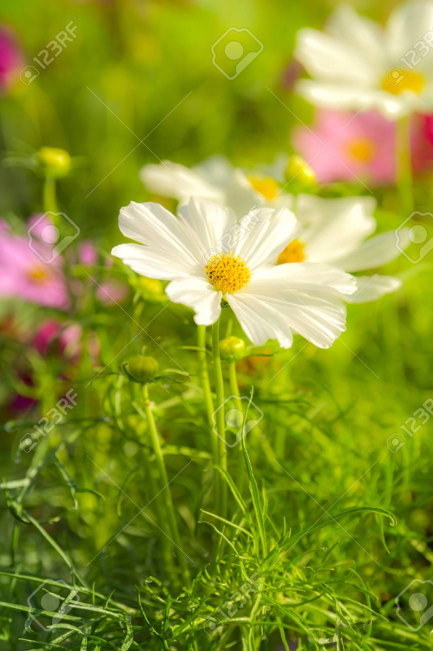 White Cosmos Flower In The Wind At Cosmos Field Stock Photo