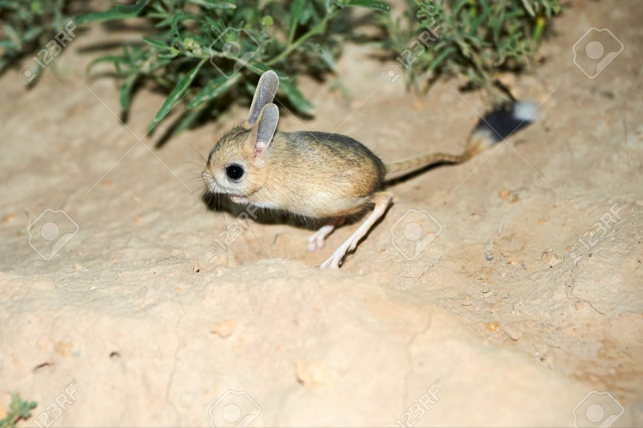 jerboa jaculus the jerboa are a steppe animal and lead a
