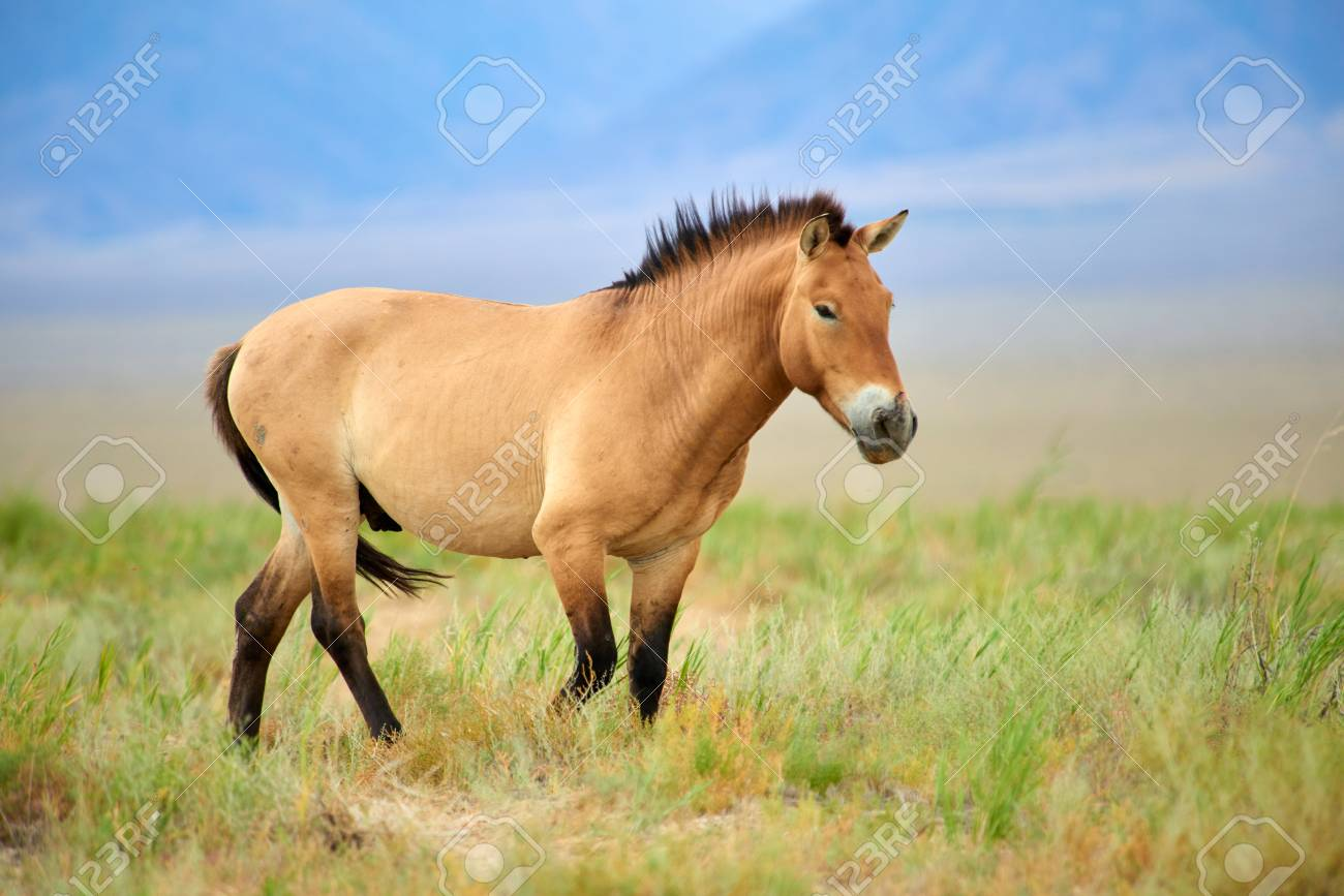 Przewalski horses in the Altyn Emel National Park in Kazakhstan. The Przewalski's horse or Dzungarian horse, is a rare and endangered subspecies of a wild horse. The Przewalski's horse has never been domesticated and remains the only true wild horse in the world today. - 90459875
